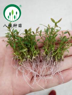 桉树组培苗